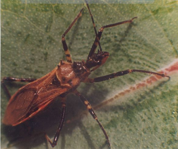 Adult assassin bug. Photo courtesy of PIRSA Forestry Government of South Australia.