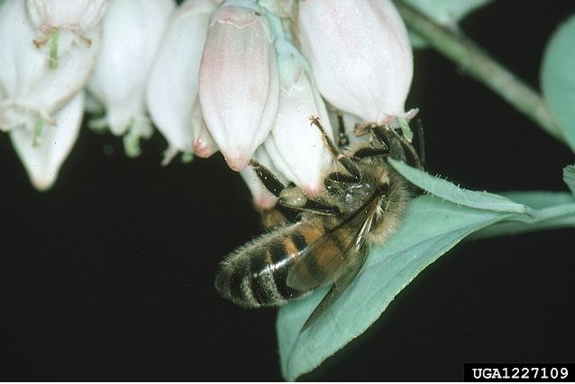 Adult honey bee on a blueberry bush. Photo by Jerry A. Payne, USDA Bugwood.org.
