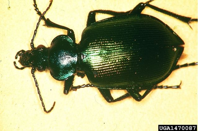 Ground beetle. Photo by Steven A. Munson, USDA Forest Service, Bugwood.org.