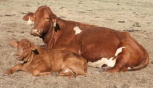 cow calf lying down