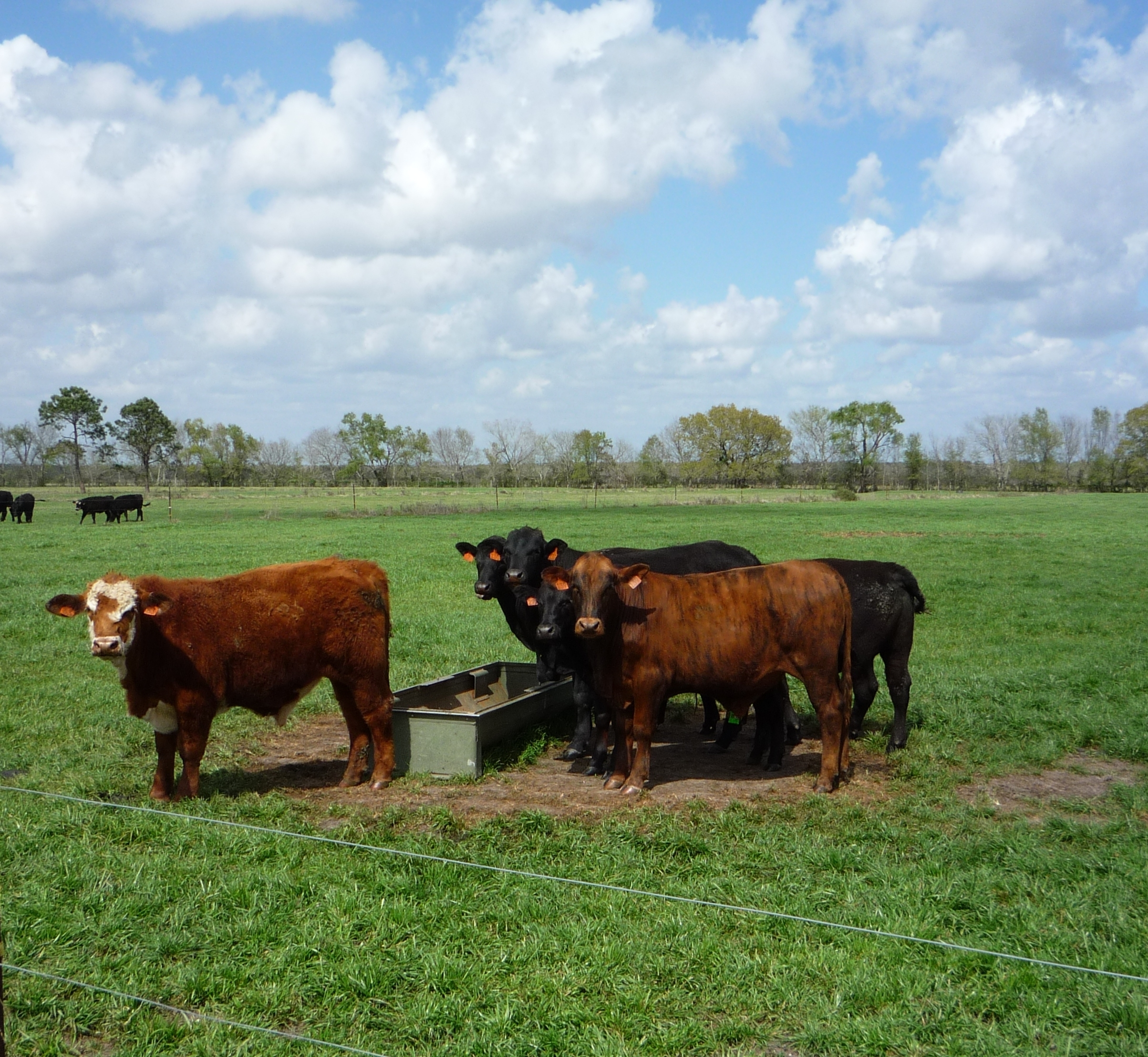 Image of cattle in pasture.