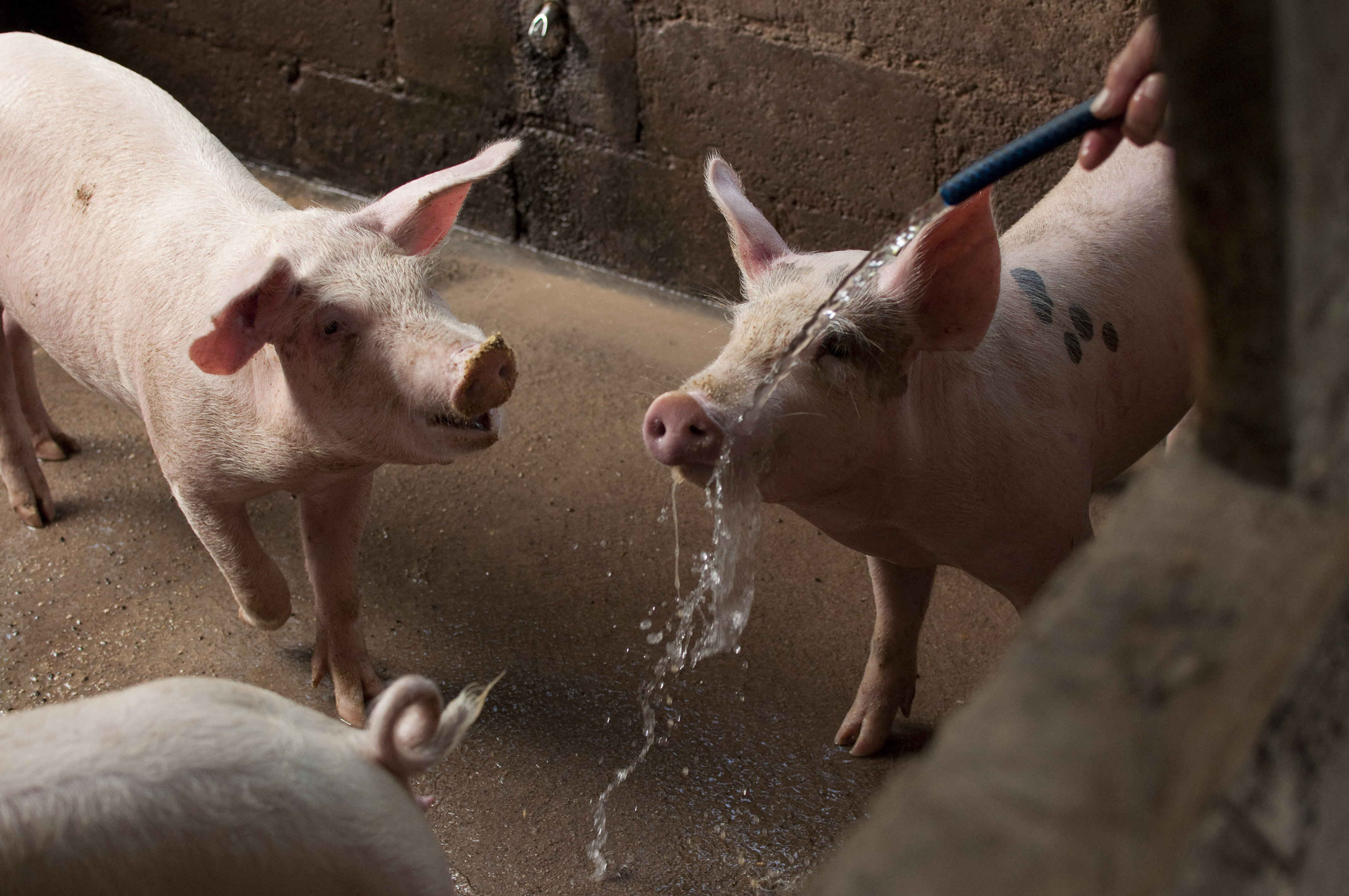 pigs drinking