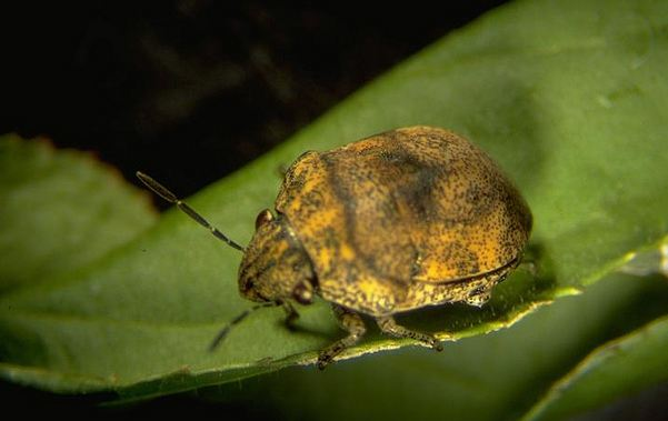 A shield bug. Photo by B.M. Drees