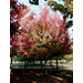 Southern Sugar Maple – Ornamental Plant of the Week for October 21, 2013