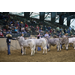 Louisiana champions named at 84th annual LSU AgCenter Livestock Show