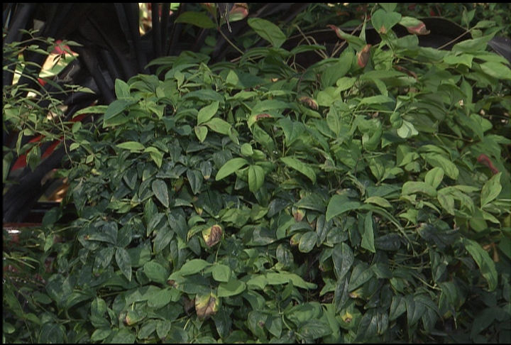 Tough nandina makes great fall shrub