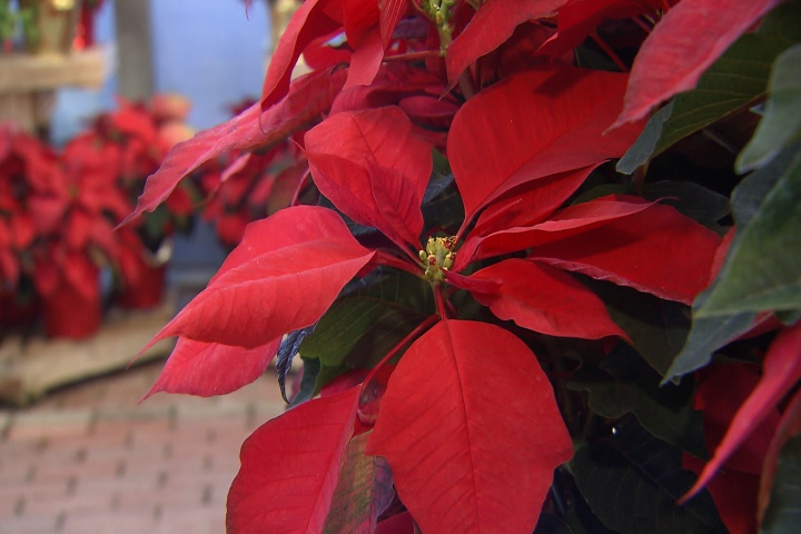 What to do with Christmas plants after the holidays