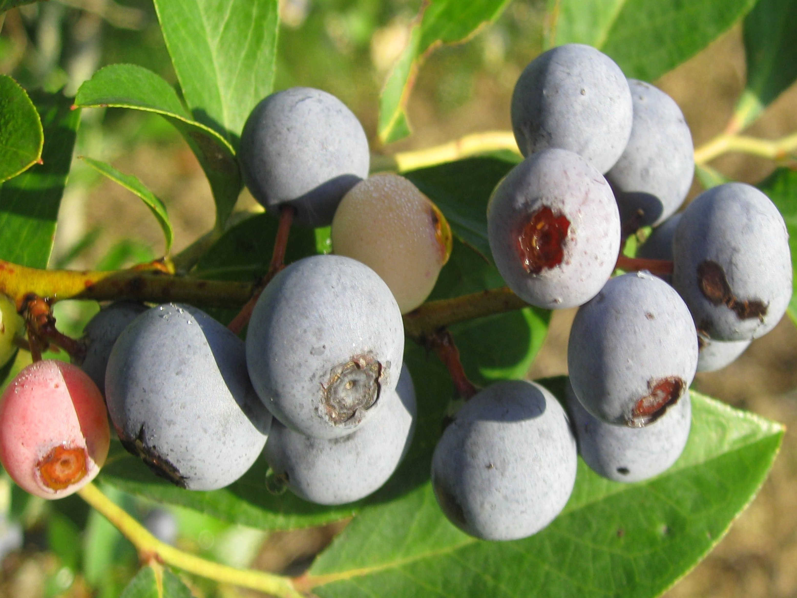 Rabbiteye blueberries are Louisiana Super Plants