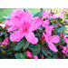 Encore azaleas rank among most popular La. plants