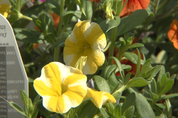 Calibrachoa are hardy petunia look-alikes