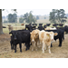 LSU AgCenter to downsize cattle herd at Hill Farm Research Station