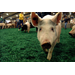 Swine owners should take biosecurity precautions to avoid spread of disease