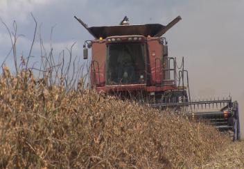 Wet weather affects Louisiana soybean crop quality
