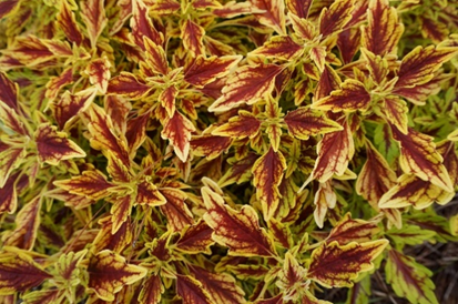 Plant with yellow and red spotted leaves.