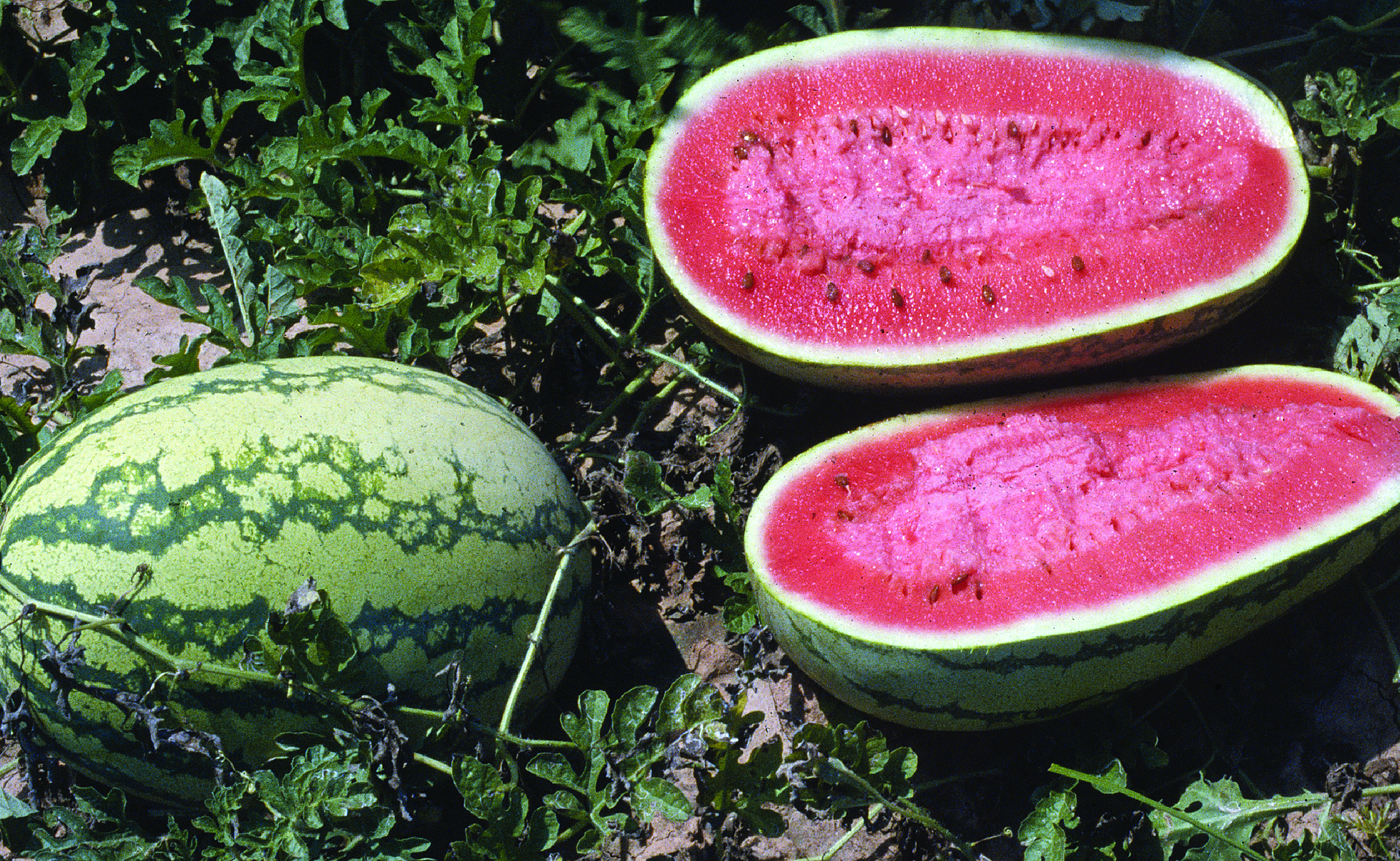 watermelons in fieldjpg