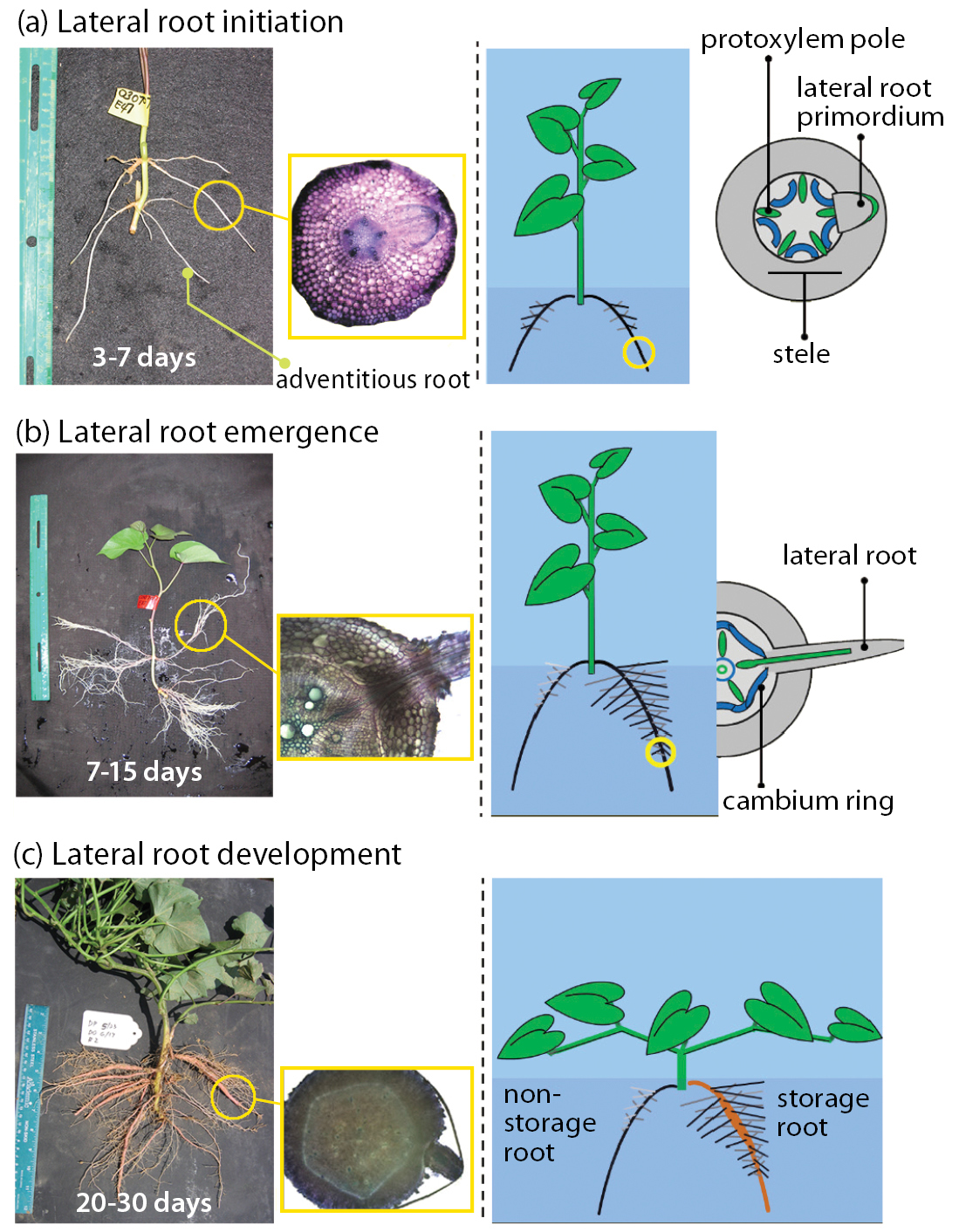Local nitrogen variability alters root architecture and influences storage root formation in the Beauregard sweet potato