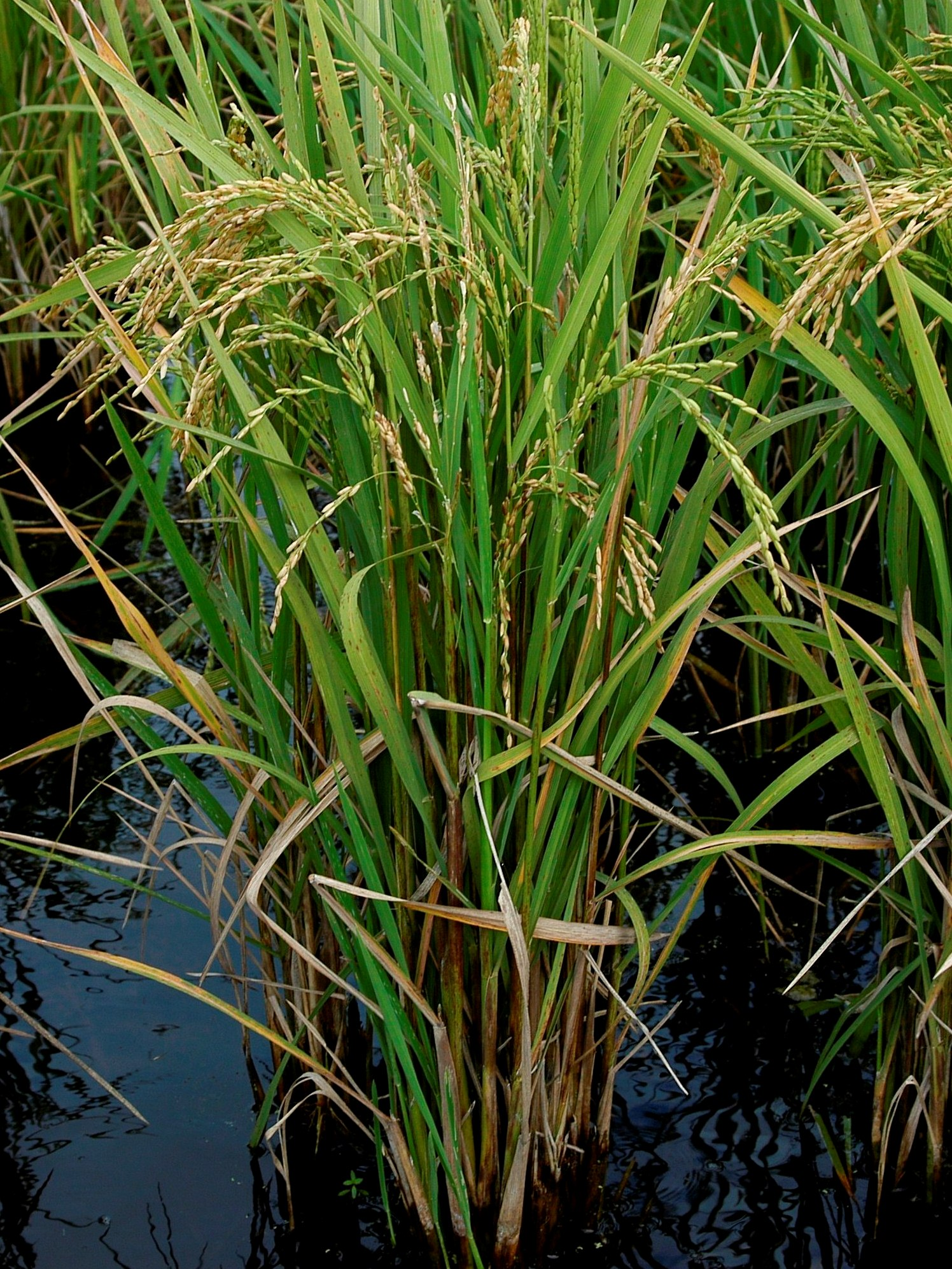 Infested rice plant.