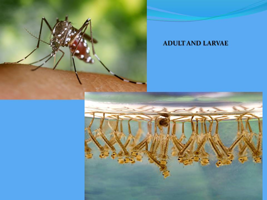 Mosquito and Larvae