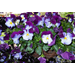 Sorbet violas, Cool Wave pansies make ideal cool-season plants