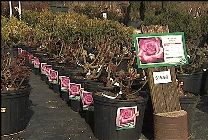 Gardeners encouraged to plant roses in March