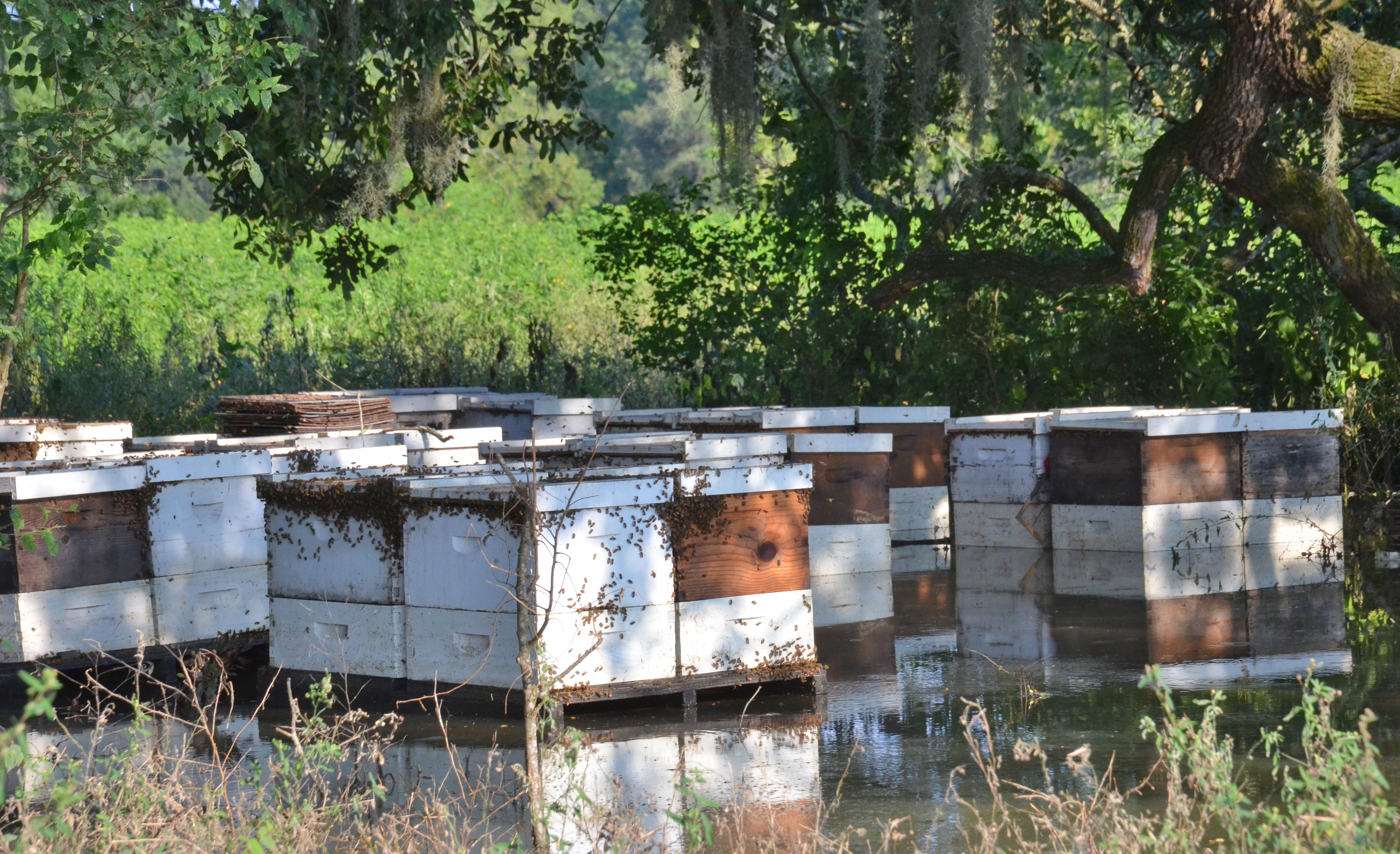 beehives in flooded pasture near Lafayette1.jpg thumbnail