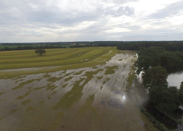 M FrugeSome of the rice we have left to harvest1.jpg thumbnail