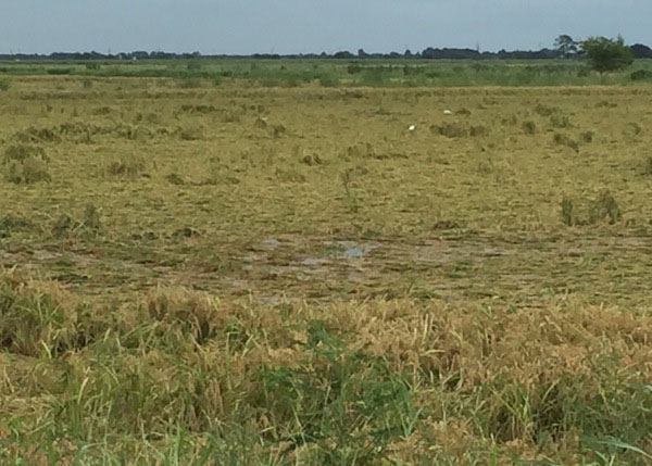 South of CrowleyUnharvested rice lodged and mostly underwater1.jpg thumbnail