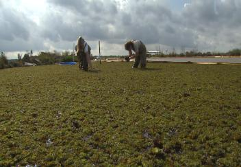 Grad students use salvinia weevil to combat invasive weed