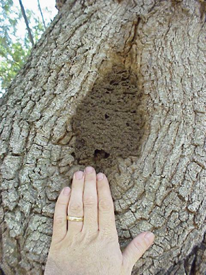 Carton material made by termites at pruning scar of tree