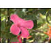 Alice Dupont mandevilla is colorful climbing vine