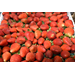African delegation hears about strawberry production, harvest, storage