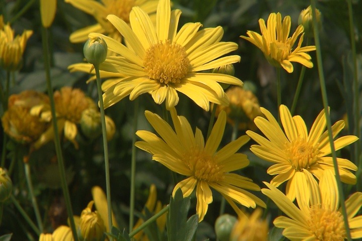 Bush daisy produces abundant yellow flowers
