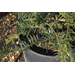 Time to plant shrubs like plum yew
