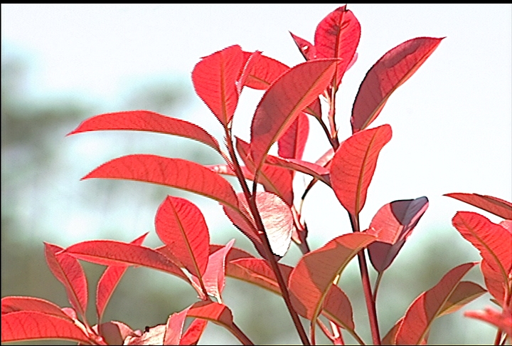 Release of new photinias is promising
