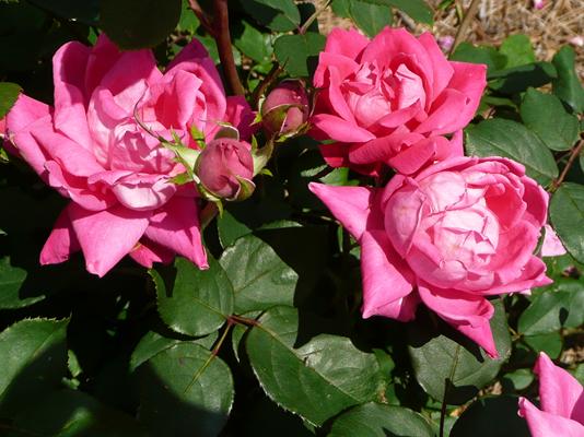 Roses In Garden: February Care Enhances Spring, Summer Roses