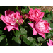 February care enhances spring, summer roses