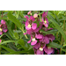 Serenita Raspberry angelonia blooms profusely during summer