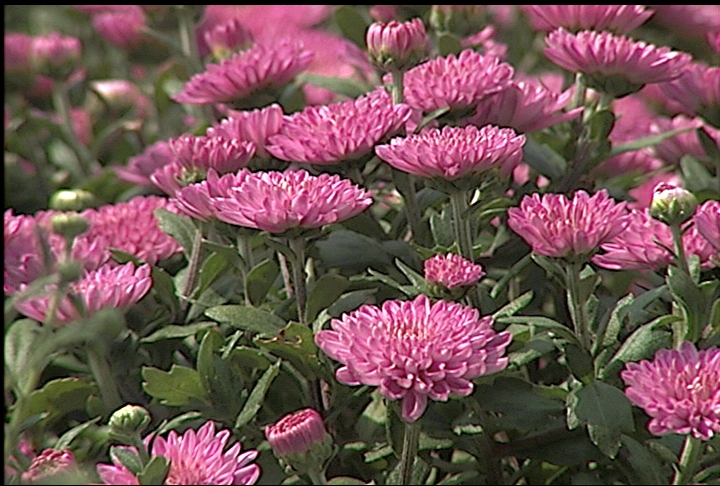 Chrysanthemums offer spectacular fall color