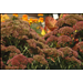 Sedums are diverse fall-blooming perennials