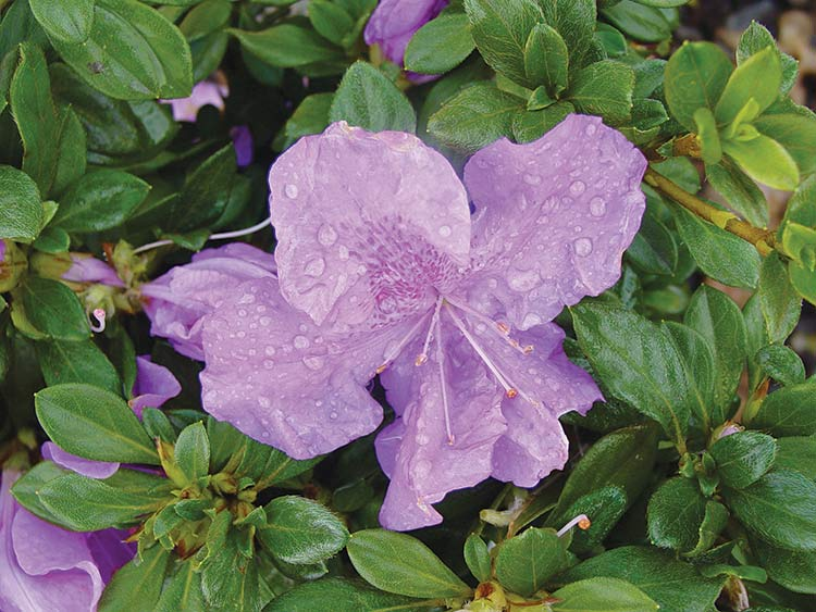 New Woody Ornamental Shrubs for Louisiana Landscapes