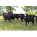AgCenter experts urge cattle health programs