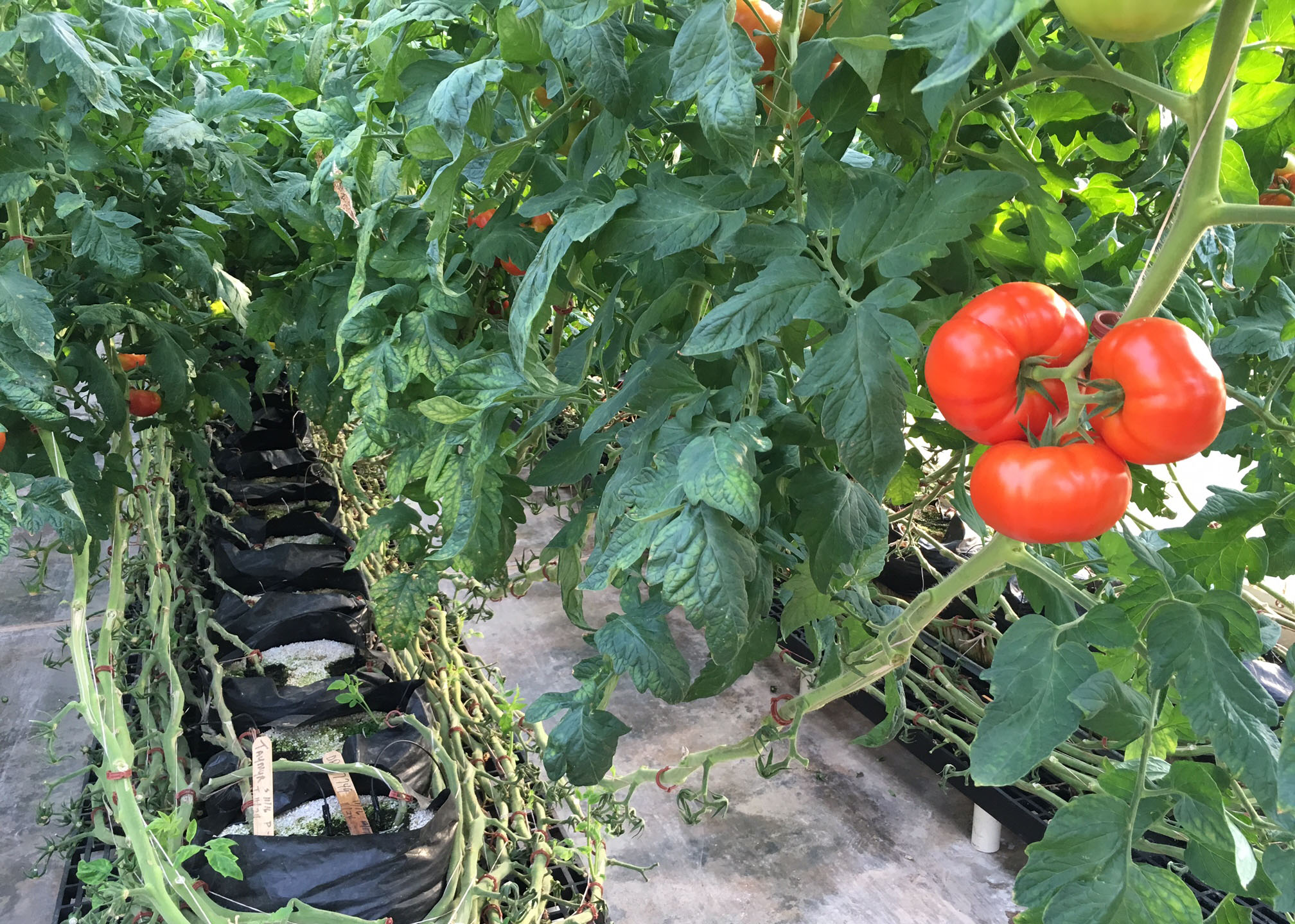 Impact of Salinity Stress Using Recycled Potting Media in Greenhouse Tomato Production