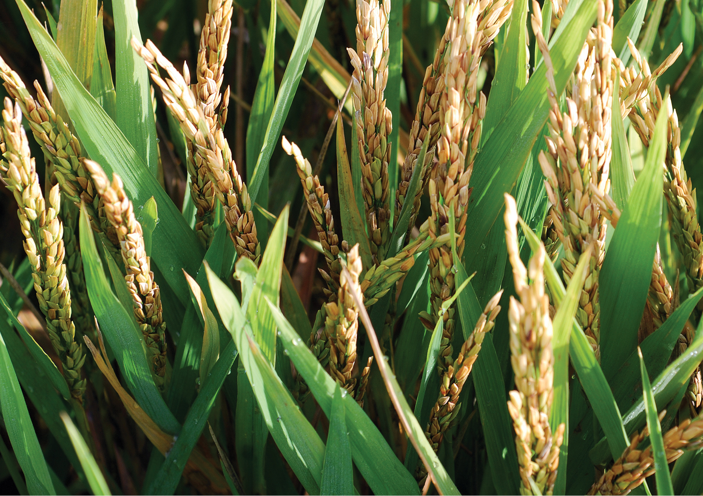 Bacterial Panicle Blight An Emerging Rice Disease