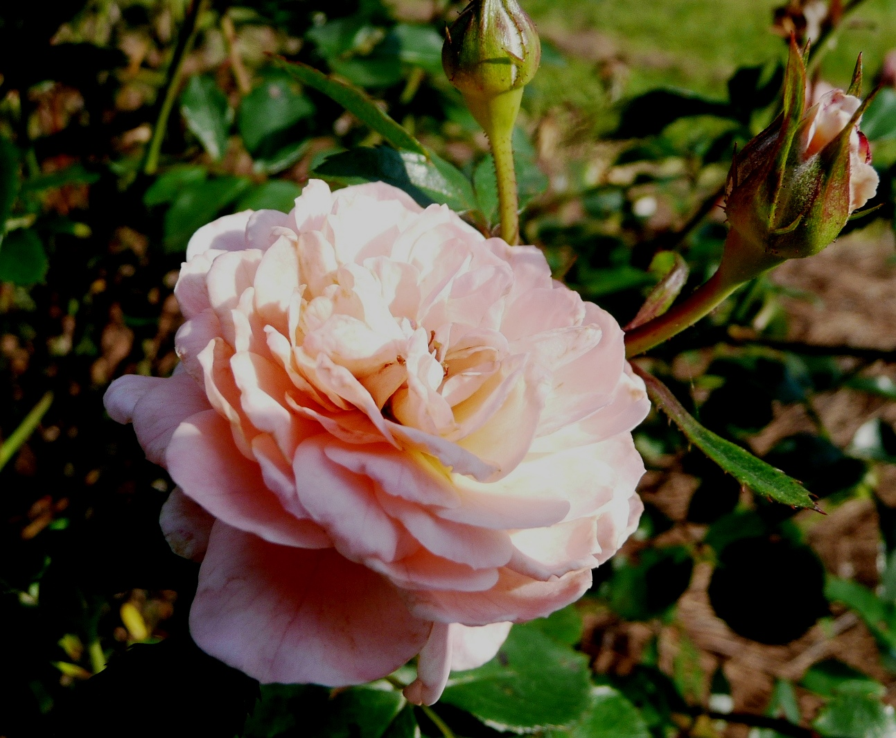 Drift roses named Louisiana Super Plant for fall 2013