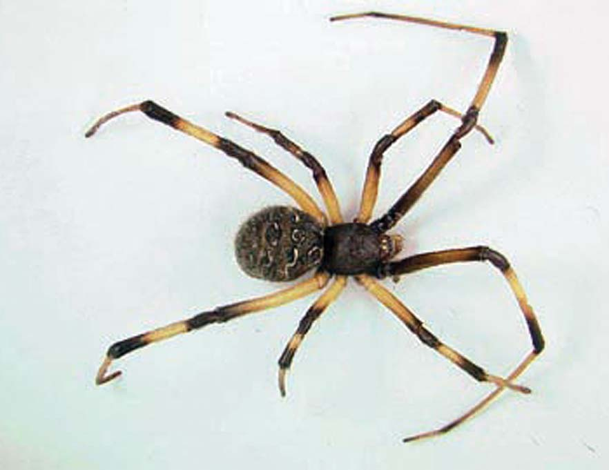 Brown widow spiders show up in Louisiana