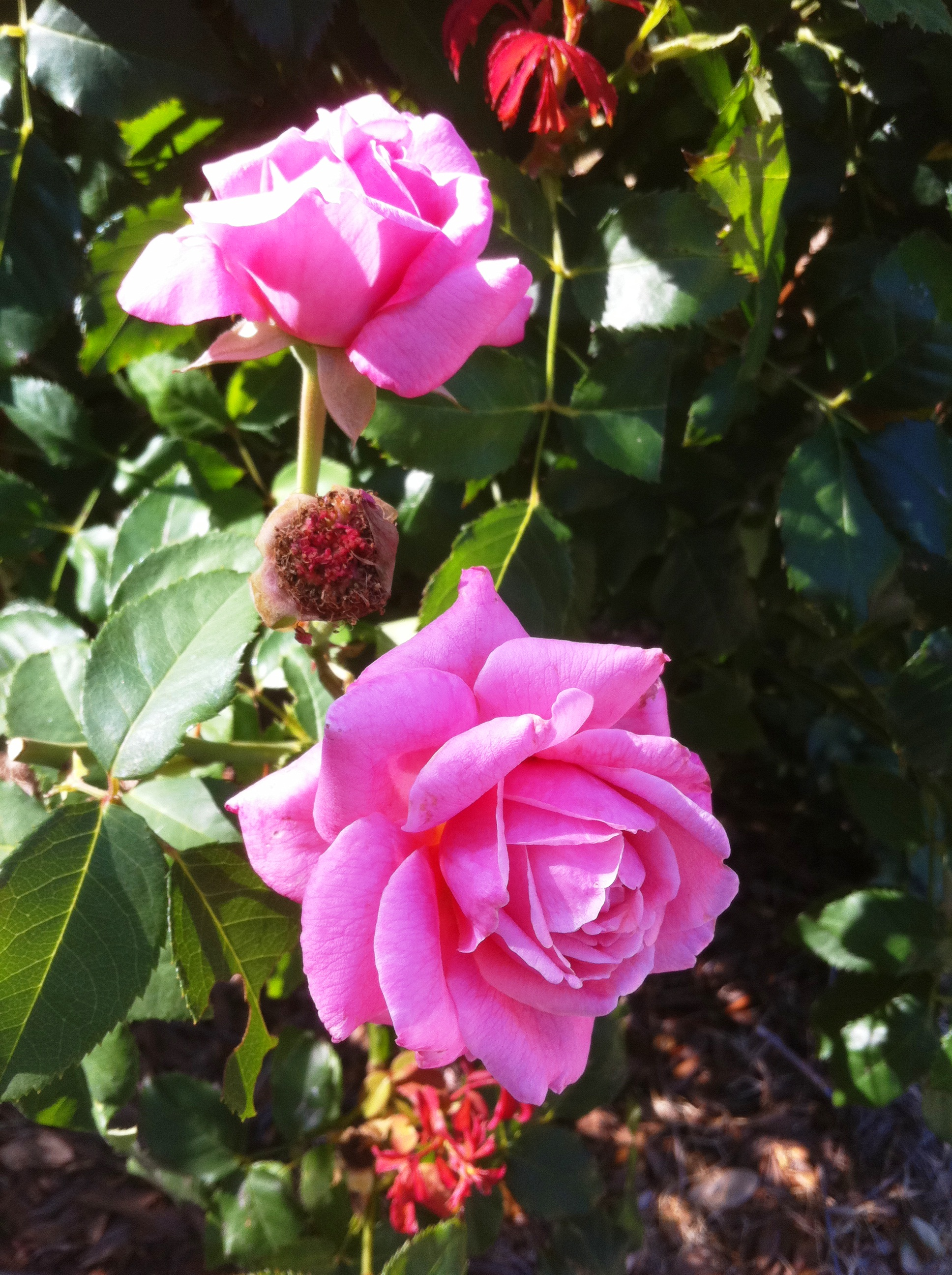 Take care of your roses during summer