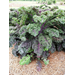 Ornamental Kale and Cabbage – Plants of the Week for November 23 2015