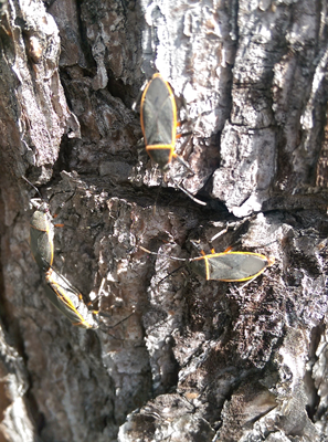 Picture of bordered plant bugs.