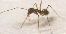 The Plan for Managing Crazy Ants in Louisiana