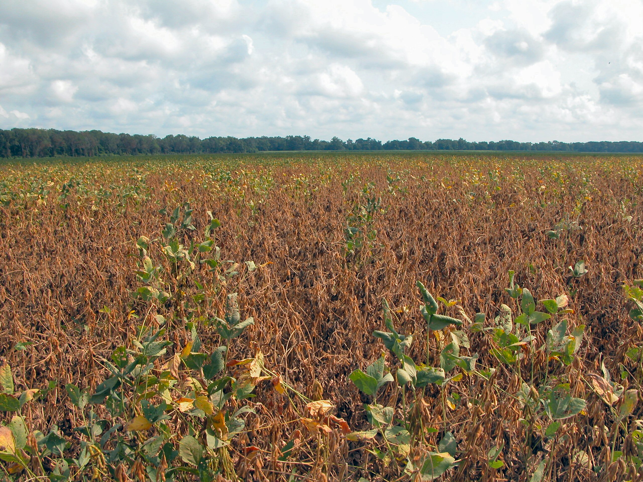 premature death of soybeans due to rootknot nematode.JPG thumbnail